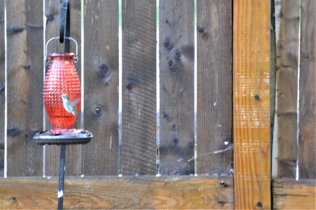 Hummingbirds in Chicago